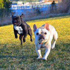 French Bulldogs #frenchbulldog #dog