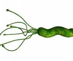pylori causes vitamin malabsorption by attaching to the stomach lining and blocking stomach acid production. Gastritis Erosiva, Peptic Ulcer, Stomach Ulcers, Stomach Acid, What Is Bacteria, Bacteria Shapes, Microscopic Images, Stomach Problems, Gut Microbiome
