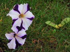 pansies-dual colour