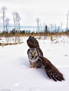 luv this-owl in snow-