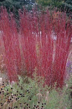 Andropogon gerardii 'Red Bull'. needs a hot, dry summer or the plant probably will collapse