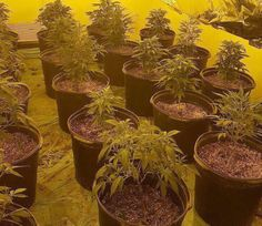 Incautan 92 plantas de marihuana en invernadero en Bayamón -...