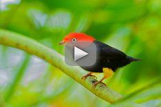 El pájaro que baila como Michael Jackson – Vídeo