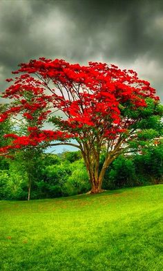 What a beautiful tree! Royal poinciana (flamboyant tree) in Puerto Rico Puerto Rico, Nature Tree, Flowers Nature, Tropical Flowers, Red Flowers, Tree Forest, Plantation, Flowering Trees, Amazing Nature
