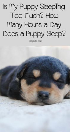 You want to play with your new bundle of fur, but your pup is zonked out for hours on end. Just how many hours a day do puppies sleep? Turns out, a lot! If you're worried that your new pup is sleeping too much (or not enough), read on to learn everythin Puppies Tips, Cute Puppies, Dogs And Puppies, Collie Puppies, Rottweiler Puppies, Dachshund Puppies, Beagle Puppy, Weiner Dogs, Corgi