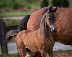 2017 Half-Arabian Foal