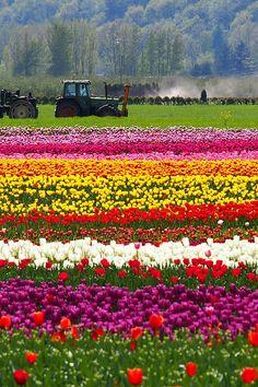 Agassiz Tulip Festival by どこでもいっしょ on Flickr. Agassiz Tulip Festival - Seabird Island, BC Canada