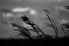 all'Idrovora tra Cabras e Nurachi - 10 Ott.2015 circa ore 18:00 - foto Guido Frilli #guidofrilli - Nikon D750 + Tamron 160/600 mm. f/5-6.3 - f/6.3 1/2500 sec. ISO 800 a 600 mm.