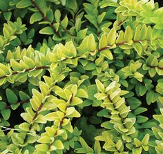 Lonicera Ophelia™ | Star® Roses and Plants