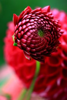 Gorgeous budding Dahlia... Nature continues to astound me in its perfection ~ mathematical, and otherwise!