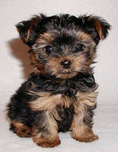 Where To Buy A Yorkie Mix Rescue Dog