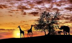 Picture of Animals in Africa at sunset silhouette stock photo, images and stock photography. Sunset Wallpaper, Photo Wallpaper, Wild Life, Relaxing Images, Wall Mural Decals, African Sunset, Sunset Silhouette, World Map Decal, Safari Theme