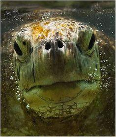 Amazing Underwater Stock Photography Pictures Of Sea Creatures Beautiful Creatures, Animals Beautiful, Pictures Of Sea Creatures, Animals And Pets, Cute Animals, Tortoise Turtle, Alligators, Turtle Love, Turtle Painting