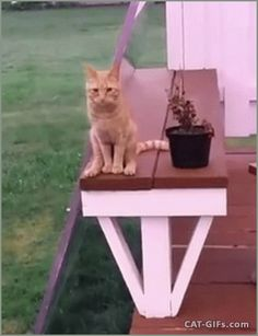 Animated Cat GIF • Amazing Cat sitting like a human with crossed back legs.