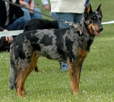 Beauceron facts including: history, training/temperament, and breed colors and markings. Akc Breeds, Rare Dog Breeds, Big Dogs, I Love Dogs, Dogs And Puppies, Doggies, Border Collie, Rare Dogs, Sweet Dogs