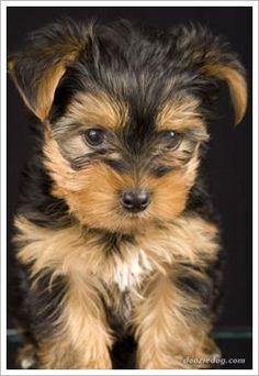 {Yorkshire Terrier} Someday <3
