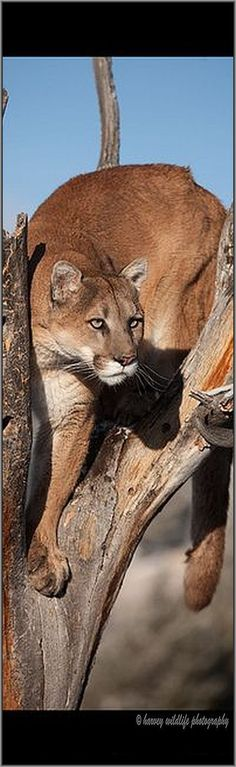 beautiful COUGAR #photo by fitnwell #puma mountain lion wildlife wildness nature animal pet big cat http://itz-my.com