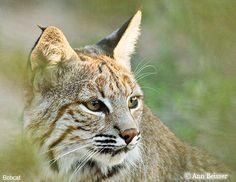 . B Image, Desert Animals, Thematic Units, Animal Facts, Cheetahs, Tiger, Big Cats, Pet Birds, Mammals