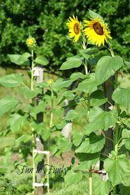 Fun to Funky: Mammoth Sunflowers + My Tips! Mammoth Sunflower, Thunderstorms, Herbs, Sunflowers, Garden, Water, Plants, Summer, Fun