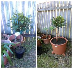 6th, July 2016: I bought a Ficus. This is related to the Strangler Fig and should never be planted in the ground. So, these plants are more suitable in large pots and shaped into topiary. I bought this one to use as a privacy shrub on my side fence.