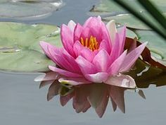 Lily, Pond, Flower, Water