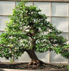 Jaboticaba bonsai, tropical bonsai