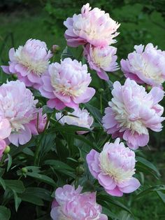 Peony Sorbet - peony variety with broad, pink outer and cental petals and a collar of small creme petals. Cut Flower Garden, Beautiful Flowers Garden, Cactus Flower, Amazing Flowers, Beautiful Roses, Pretty Flowers, Flower Pots, Little Gardens, Perennials