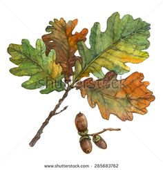 Watercolor illustration of autumn oak leaves and acorns on white background