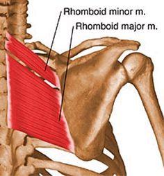 Rhomboid Minor and Major - Anatomy - Orthobullets.com