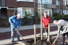 Planten van een boom aan de Rembrandtkade te Rijswijk op 13 november 2013. Met vereende krachten gaat de boom de grond in. Met wethouder Dick Jense en raadslid Ton Henskens