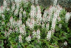 TIARELLA - 'Sugar & Spice'. Delicate fragrant, frosted, pink flowers with a white inside in summer. The foliage looks good all year round. H/W 20x30cms. Cost per plant in 1 litre pot £6.00
