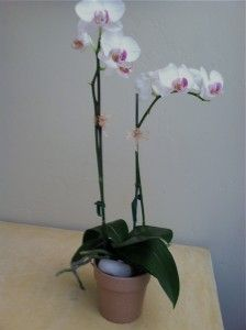 a tip to care for your orchid the easy way