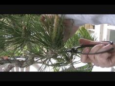 Japanese Black Pine Bonsai Pruning