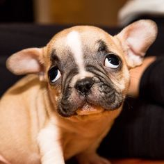 The Sweetest Face, French Bulldog Puppy.