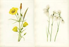 Mary Vaux Walcott; Goldenbowl mariposa (Calochortus concolor), Tassel cottongrass (Eriophorum viridicarinatum)