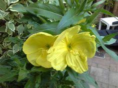 Teunisbloem bloeit s'nachts en nog in de vroege ochtend.