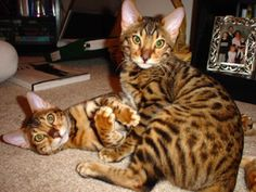If you love cats.  Bengals are the way to go.  Just so beautiful and so much fun.