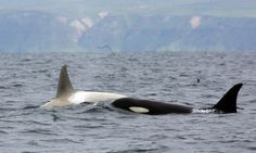 Although Iceberg's colour is unusual, he is not the only white killer whale that FEROP encountered in recent years. This young white female was also spotted by the team in Russian waters. She is not, however, nearly as white as Iceberg. (Image: FEROP)  So pretty. :)