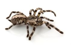 Indian Ornamental Tarantula it's beautiful. if i ever had any desire for a spider, i would get this one