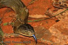 Ophiophagus hannah (King cobra)