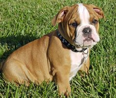 Rusty the Bulldog Pictures 1057306