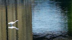 Egret stalking fish in the Bronx River near Concrete Park. 5/12/13 https://twitter.com/H2Oblues/status/333935313112150017/photo/1
