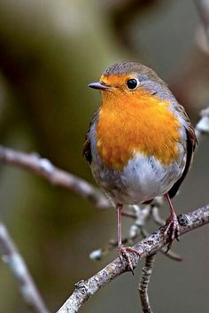 Robin Tappersnapper. Photo by Nature Uk. http://www.timtapleyphotography.com/
