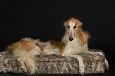such a graceful pose - Borzoi