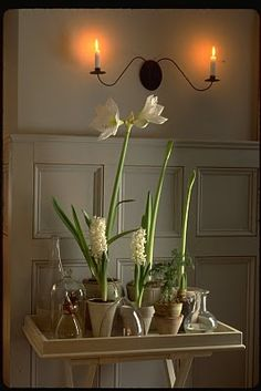 Amaryllis in Tricia Foley's home at Christmas
