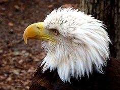 Bald Eagle - zoltán kovács - Google+