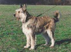 picardy sheepdog photo | ... De Picard (Berger Picard) (Berger de Picardie) (Picardy Shepherd