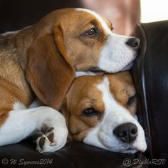 We all need a beagle for a pillow