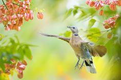~ Red Turtle Dove in Flying ~ - ~  Red Turtle Dove in Flying | 紅鳩飛行~     鳥類名稱 Bird Name:Red Turtle Dove. 紅鳩 ♀ 俗稱「火鵻仔」 學名 Scientific Name: Streptopelia tranquebarica. 科名 Family:鳩鴿科(Columbidae).  圖像大小 Image Size : 6000x4000 pixel My Facebook page : https://www.facebook.com/fuyi.chen.9