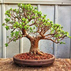 Jade plant bonsai